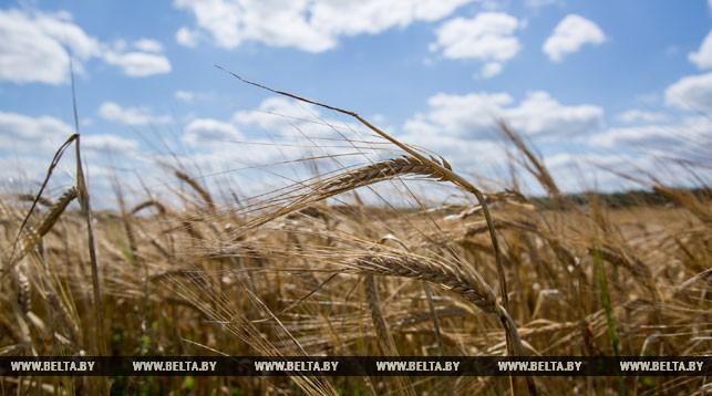 колос, пшеница, уборочная