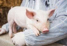 чума, африка, свиньи, профилактика