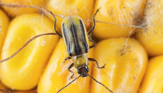 жук, кукуруза
