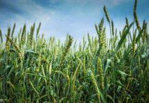 пшеница, поле, зерно