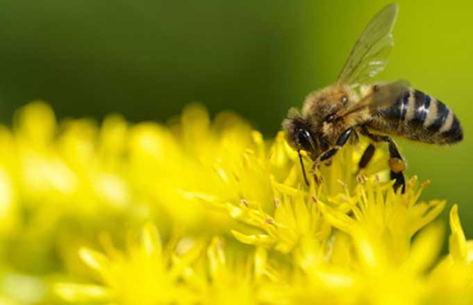 мёд, пчела, цветок, цветы