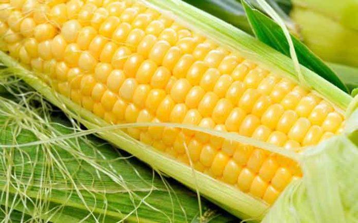 кукуруза, семена, растениеводство
