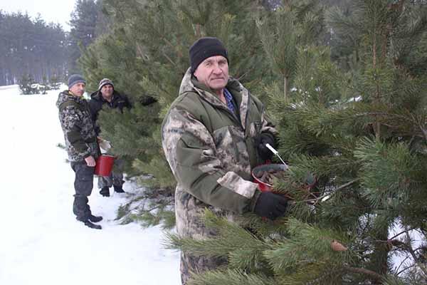 Милошевичский лесхоз, сбор шишек